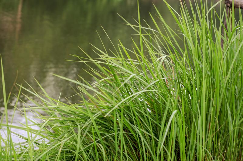 Grass and water before sunset for background royalty free stock photos