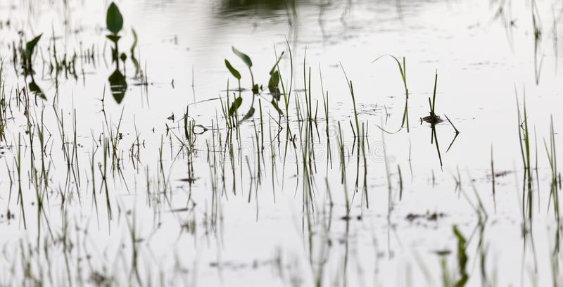 Grass in water at sunset royalty free stock photography