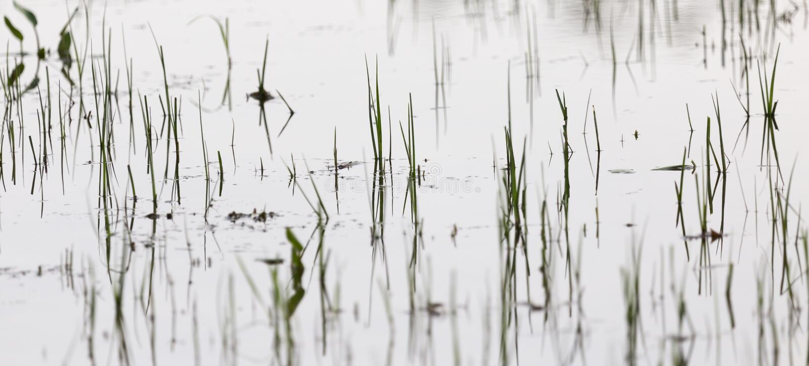 Grass in water at sunset stock photos