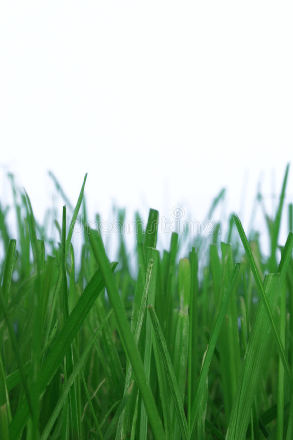 Grass on white stock photography
