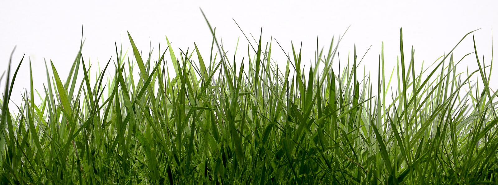 Download Grass stock image. Image of tall, wild, white, meadows - 39006295