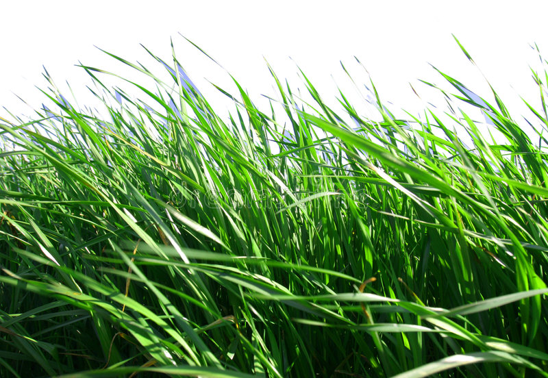 Download Grass With White Background Stock Photography - Image: 643322