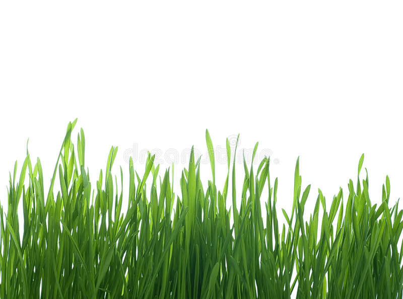 Grass on White Background stock photo