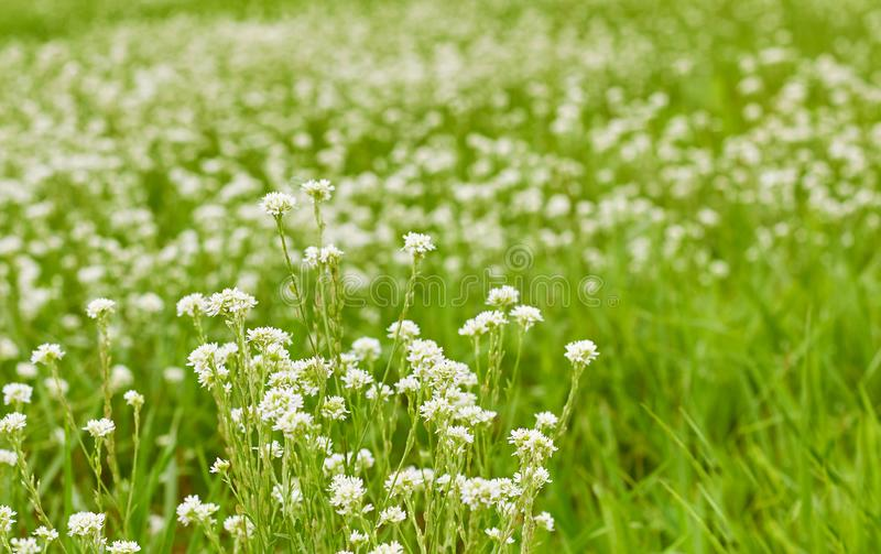 Grass and white wild little flowers on ploughed field or greenland meadow royalty free stock images