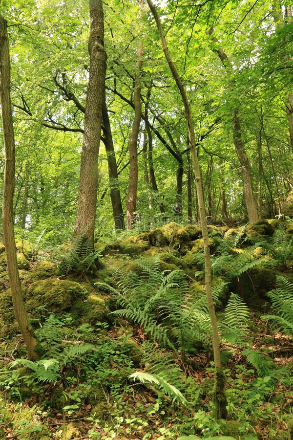 Grass Wood, Conistone - ferns and trees. Grass Wood is an ancient woodland of 88 hectares 220 acres in Wharfedale, North Yorkshire, England, that has an royalty free stock photos