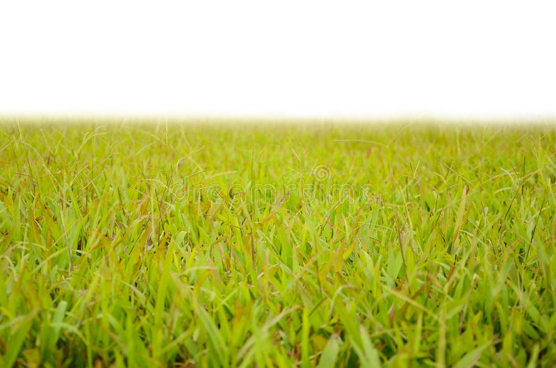 Grass yard in white background isolated in white background stock images