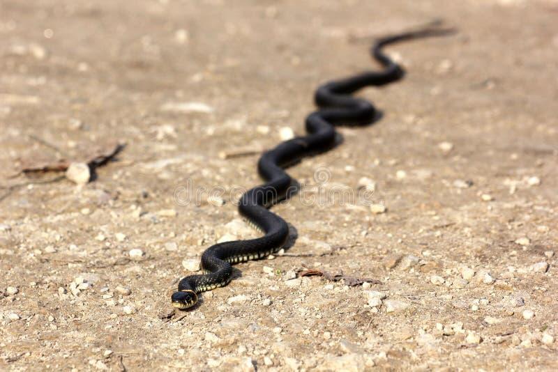 Grasschlange mit seiner Zunge, die auf dem Boden, clos heraus kriechen hängt stockfotografie