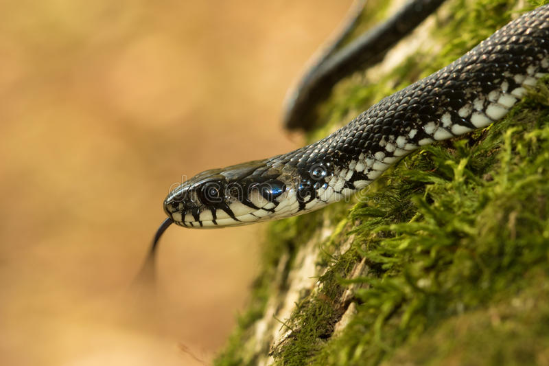 Grasschlange, Natrix Natrix-Showzunge stockbilder