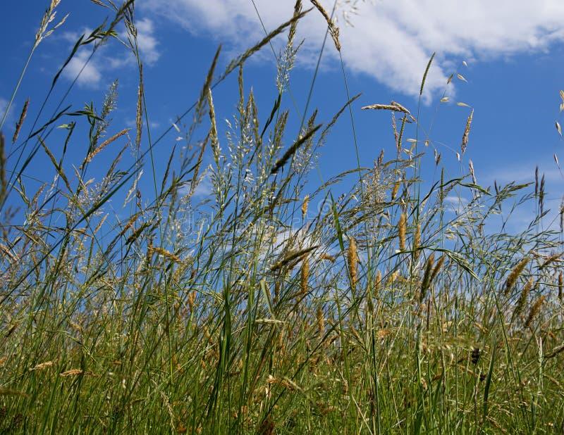 Grassen die in de wind blazen royalty-vrije stock foto