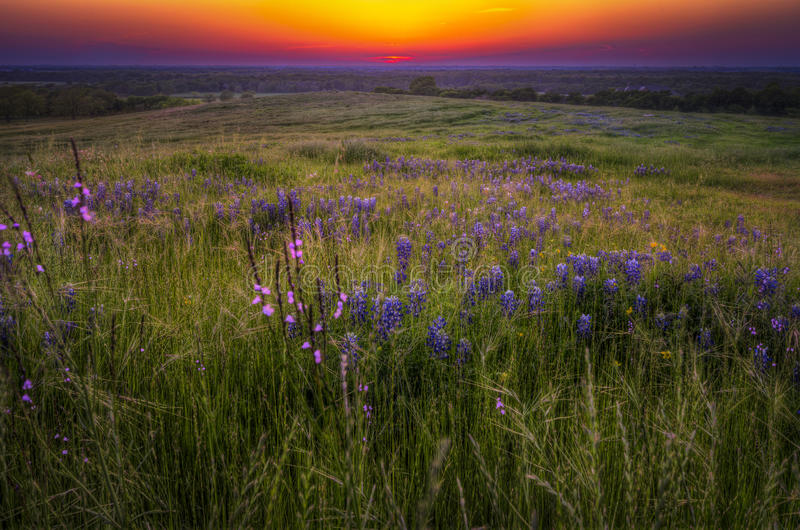 Grassen en Bluebonnets bij Zonsondergang royalty-vrije stock fotografie