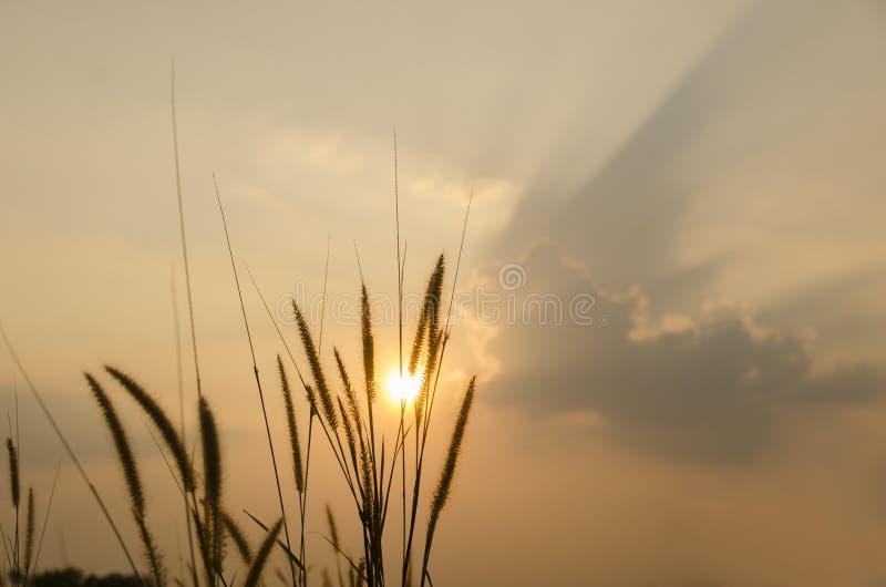 Grassen op de zonsondergang stock afbeelding