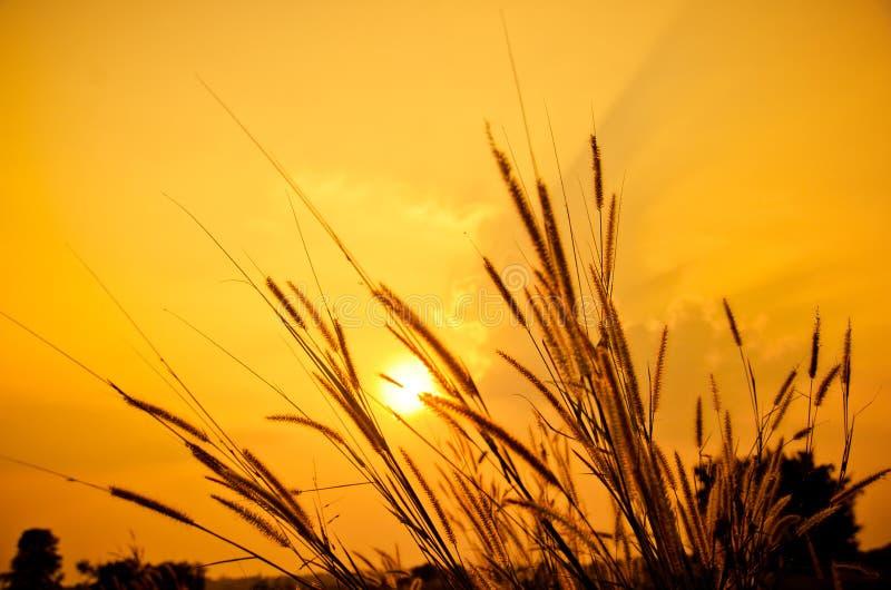 Grassen op de zonsondergang royalty-vrije stock foto