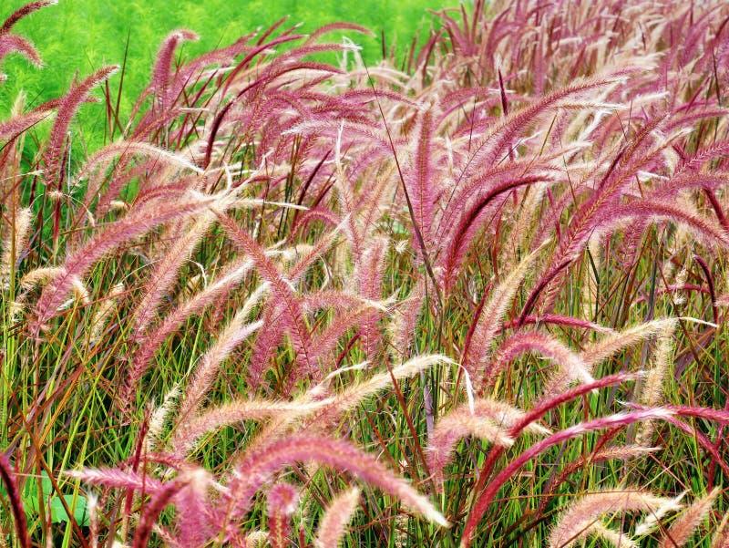 Grassen van close-up de Verse Purpere Palea op het Gebied stock foto