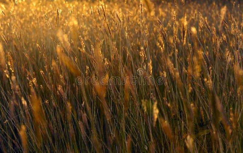 Grassen van de rode zon. stock afbeelding