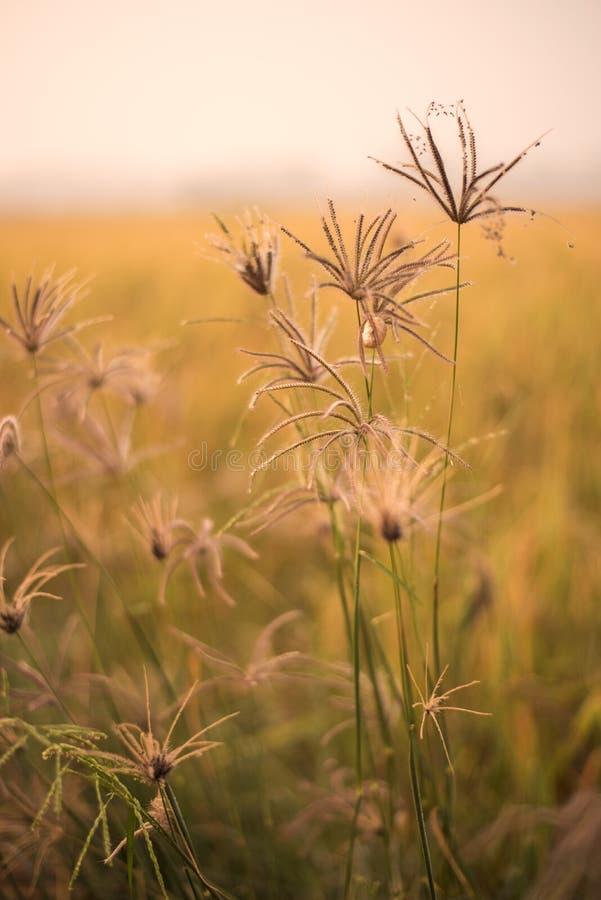 Grassengebied op de zonsopgang royalty-vrije stock afbeelding