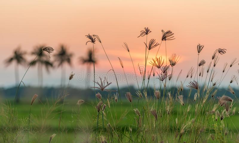 Grasses and colorful sunset sky in the background. Grasses and colorful sunset sky in the background, Phatthalung, Thailand royalty free stock photography