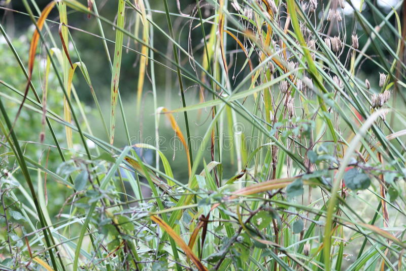Grasses in English garden, closeup, with lavender and small flowes 14 royalty free stock image