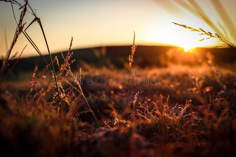 Grasses in field at sunset royalty free stock photo