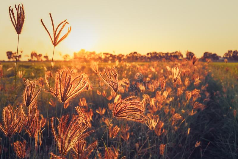 Grasses field in the sunset. Grasses in the field blooming in the sunset light, retro color style stock photo