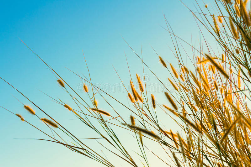 Grasses flowers. Blooming in winter, retro color style royalty free stock photos