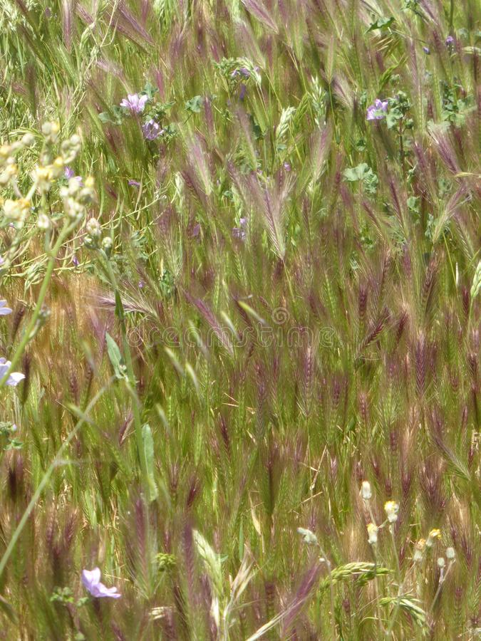 Grasses with fluffy flower heads. Grasses in Greek field green and brown grasses with fluffy flower heads an artisitic image of wild grasses stock photography