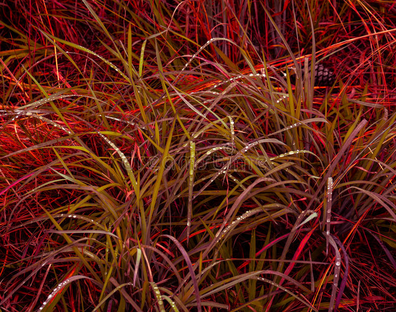 Grasses in the Morning Sun royalty free stock image
