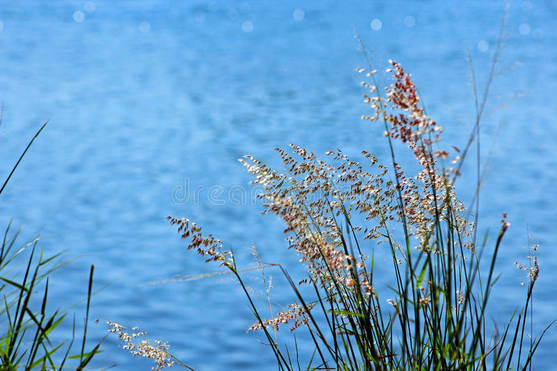 Grasses by the river. Grasses and the river background makes a painting royalty free stock photos