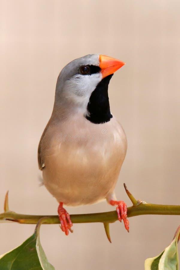 Grassfinchvogel royalty-vrije stock afbeelding