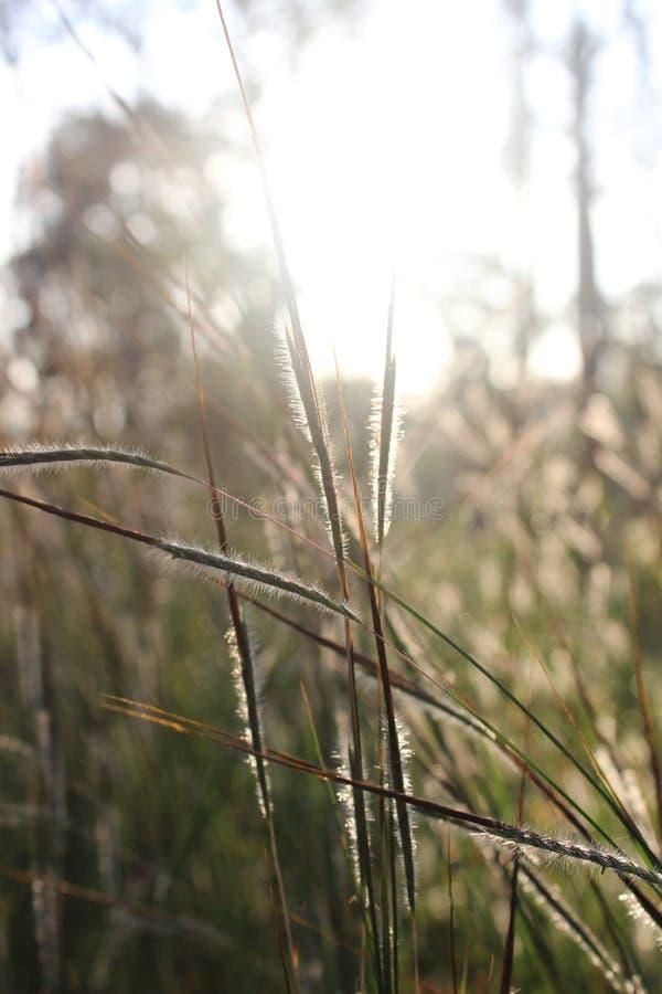 Grassflower w ranku fotografia royalty free