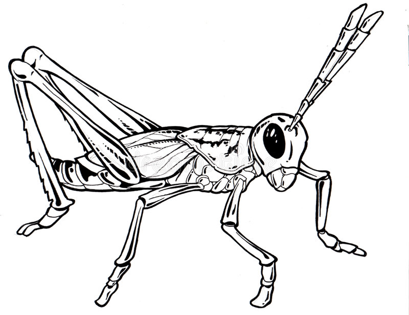 Grasshopeer Drawing stock images