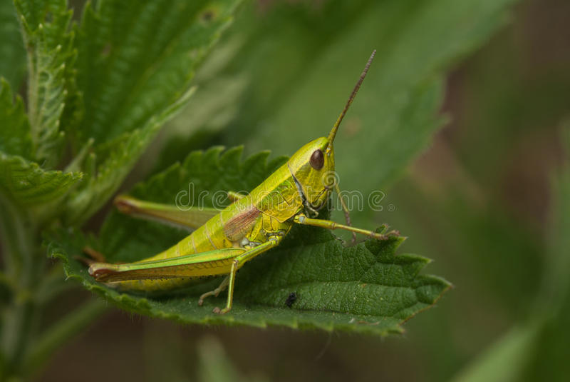 Grasshoper royalty free stock photos