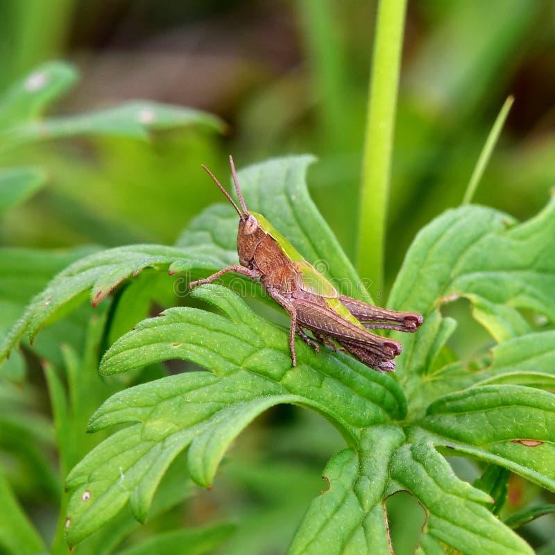Grasshoper do Bush-grilo do ` s de Roesel imagens de stock