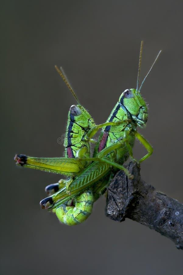 Download Grasshoper Sex Royalty Free Stock Images - Image: 26847109