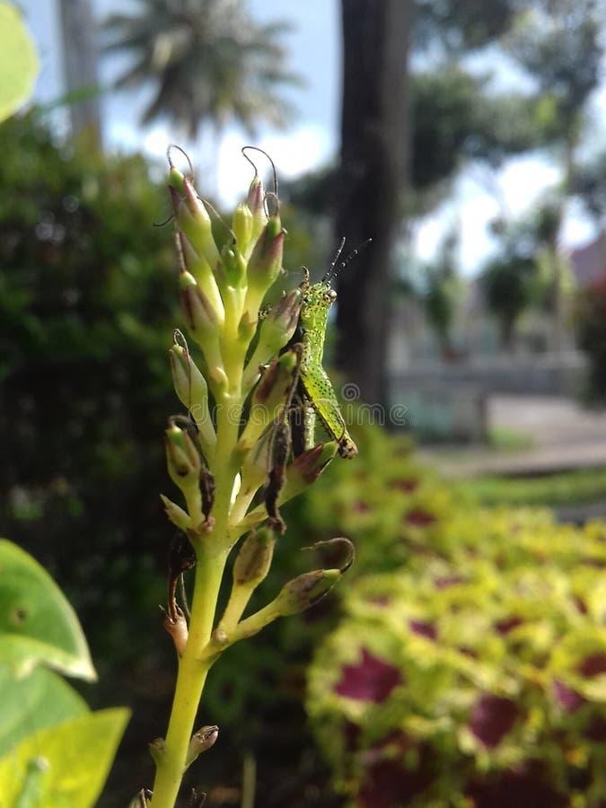 Grasshoper sulla cima del fiore fotografia stock libera da diritti