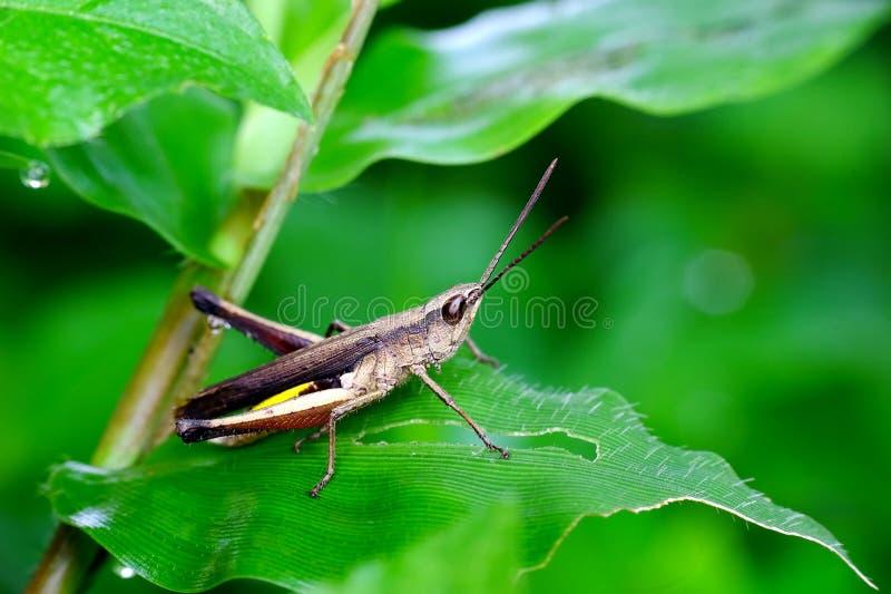 Grasshoper verde imagem de stock