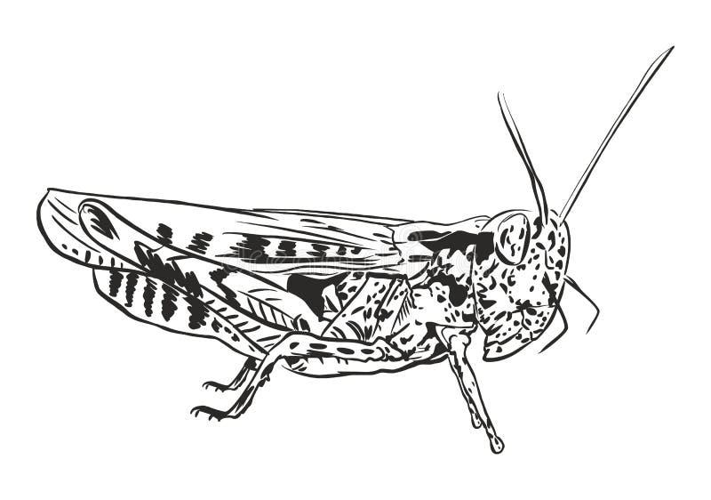 Grasshopper ακρίδα ελεύθερη απεικόνιση δικαιώματος