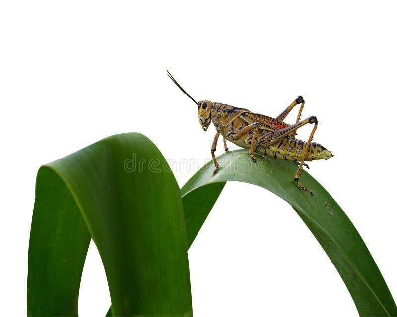grasshopper απομόνωσε μεγάλο στοκ φωτογραφία
