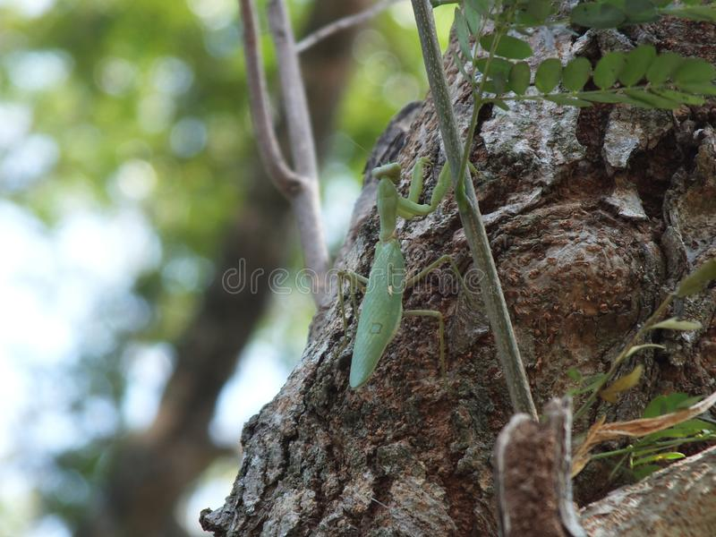 Grasshopper, κεντρική Ιάβα Ινδονησία στοκ φωτογραφία