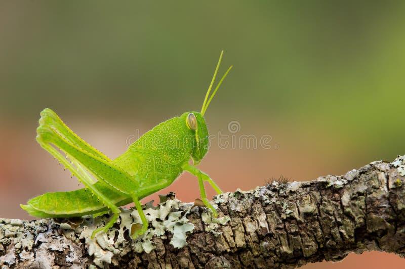 Grasshopper νύμφη στοκ φωτογραφία με δικαίωμα ελεύθερης χρήσης