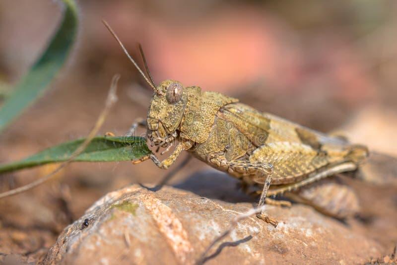 Grasshopper που τρώει το φύλλο στοκ εικόνα με δικαίωμα ελεύθερης χρήσης