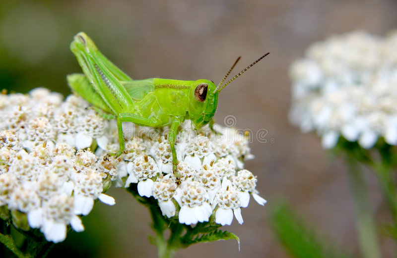 grasshopper πράσινο πήδημα στοκ εικόνα με δικαίωμα ελεύθερης χρήσης