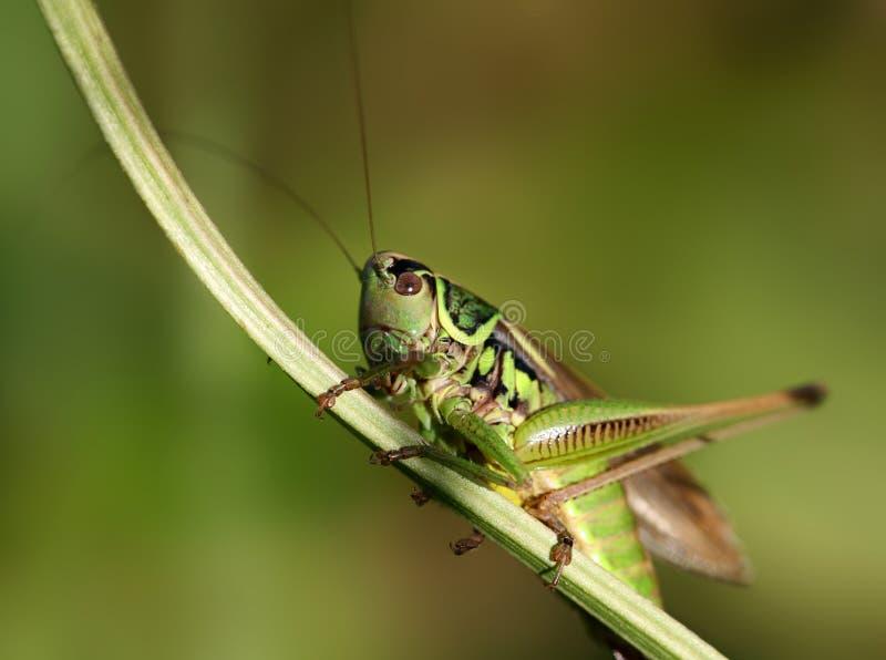 grasshopper πράσινο στοκ φωτογραφίες με δικαίωμα ελεύθερης χρήσης