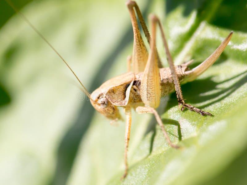 Grasshopper στη φύση Μακροεντολή στοκ εικόνες