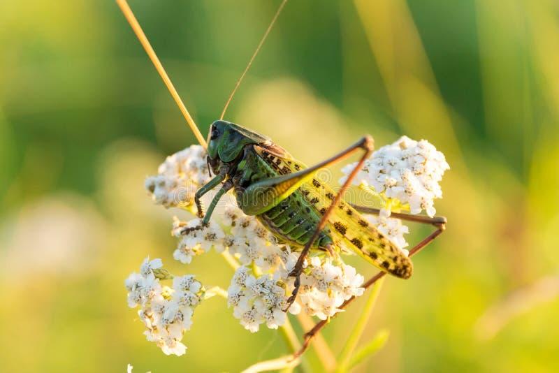 Grasshopper στη χλόη στοκ φωτογραφίες με δικαίωμα ελεύθερης χρήσης