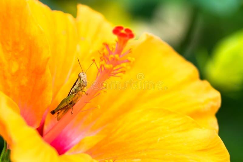 Grasshopper στο κίτρινο λουλούδι στοκ φωτογραφία με δικαίωμα ελεύθερης χρήσης