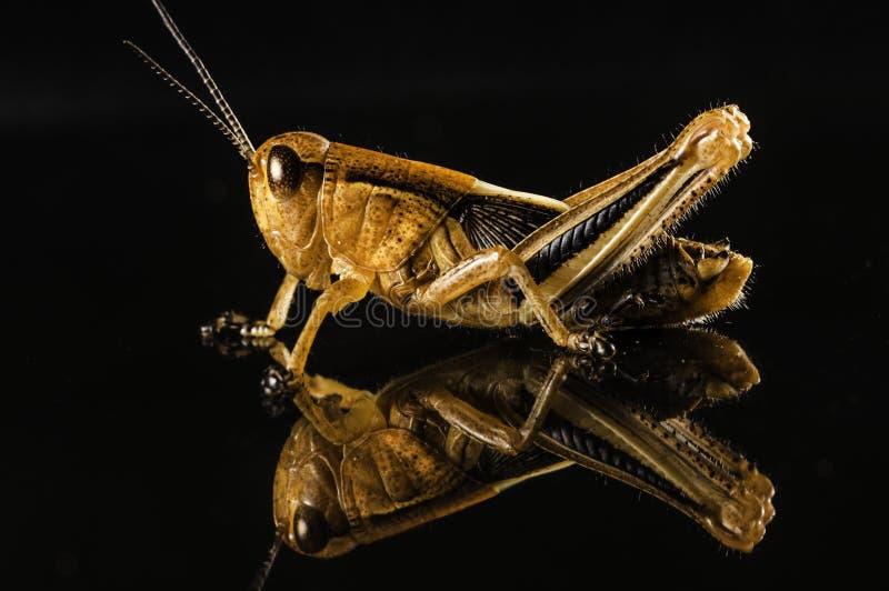 Grasshopper την αντανάκλαση που απομονώνεται με στο Μαύρο στοκ φωτογραφίες