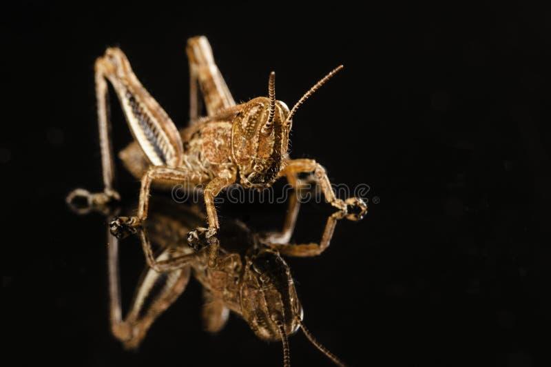 Grasshopper την αντανάκλαση που απομονώνεται με στο Μαύρο στοκ εικόνες