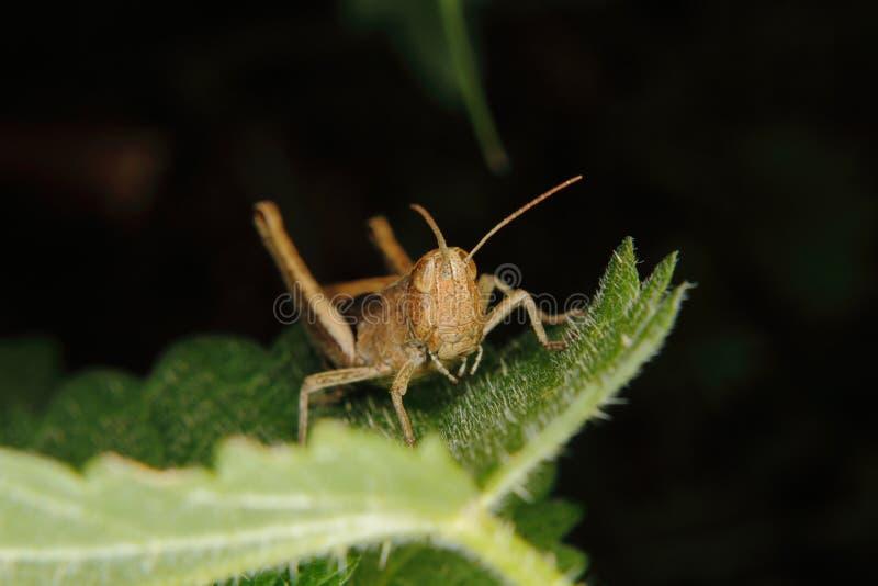 Grasshopper τομέων (albomarginatus Chorthippus) στοκ εικόνα με δικαίωμα ελεύθερης χρήσης