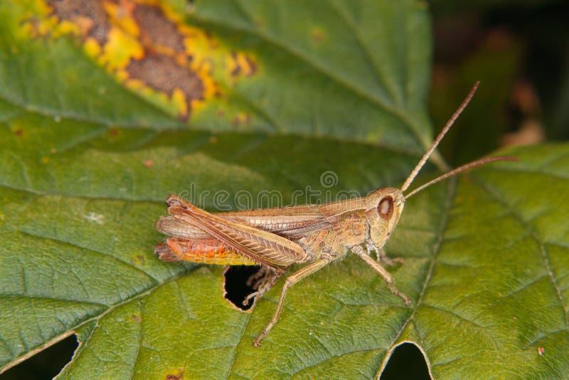 Grasshopper τομέων (brunneus Chorthippus) στοκ φωτογραφία με δικαίωμα ελεύθερης χρήσης