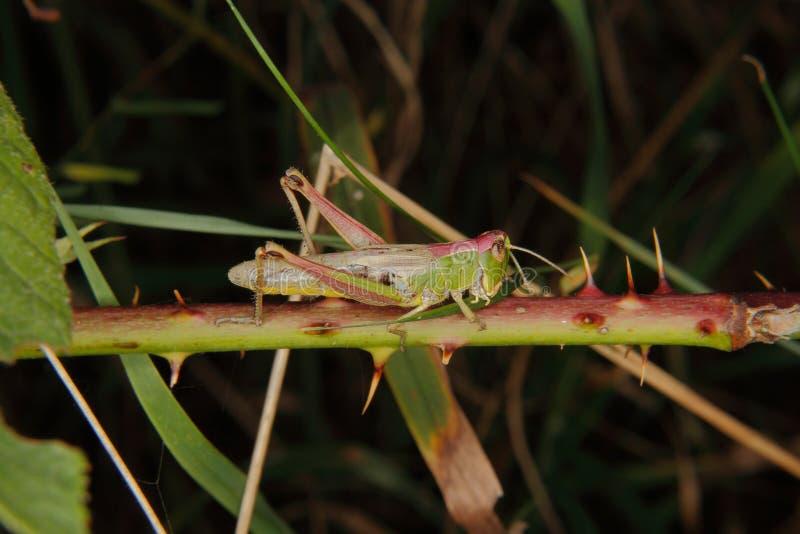 Grasshopper τομέων (parallelus Chorthippus) στοκ εικόνα με δικαίωμα ελεύθερης χρήσης